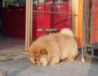 纯种 松狮犬欢迎上门送全狗用品健康签协议
