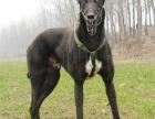 正规犬舍繁殖 纯种格力犬 包细小犬瘟 签订协议