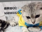 纯种折耳猫不收钱送给喜欢猫猫的人 (女士优先)