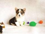 纯种家养赛级小短腿威尔士两,三色柯基犬精品幼犬公母有