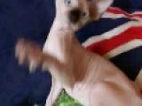 加拿大无毛猫出售