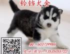 广州纯种哈士奇一只多少钱 广州哪里有卖哈士奇幼犬