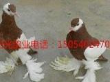 阳光鸽业常年出售马甲球胸鸽,鼓手鸽,金鱼鸽,寿星鸽,邮鸽,等