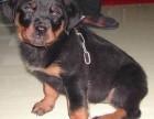 罗威纳幼犬 霸气灵气 保纯种健康可上门