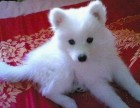 上海哪里有日本尖嘴犬卖 泰迪金毛哈士奇秋田博美阿拉多少钱价格