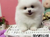 精品哈多利博美幼犬证书齐全血统纯正送用品签协议