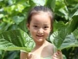 昆明摘桑叶生态蚕桑叶 可保鲜半个月昆明买桑叶 环城北路小菜园