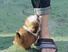 活体宠物狗狗纯种西施幼犬小体西施犬长毛颜色齐全