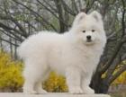 上海纯种微笑天使萨摩耶幼犬赛级犬后代保健康可视频签协议