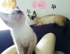 《专业繁育泰国暹罗幼猫》《幼猫出售》《种公借配》