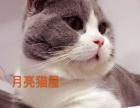 英短蓝白矮脚公猫