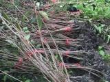 云南矮化嫁接车厘子苗,车厘子树苗专业种植