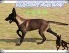 重庆哪里出售黑马犬幼犬,多少钱一只马犬小犬,怎么训练马犬幼崽