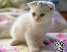 自家繁育纯血折耳幼猫多只弟弟妹妹都有可办理证书欢
