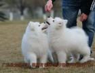 萨摩耶雪橇犬 纯种健康 签署联盟购犬合同健康保一年