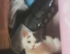 可爱猫宝宝待售!