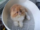 长期出售波斯猫 长毛波斯猫 白波斯猫 (包纯种健康)