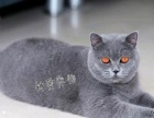 【钟爱宠物】蓝猫幼猫出售