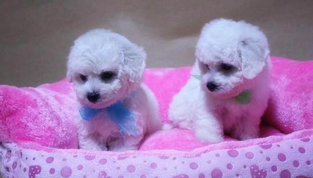 长沙芙蓉区犬舍直销各种名犬 泰迪 比熊 博美等二十个品种