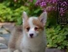 双色三色柯基犬、赛级精品多窝可选、预约优惠加豪礼