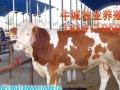 山西忻州肉牛价格