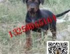 出售大骨架莱州红犬小狗图片 小莱州红犬好喂养吗