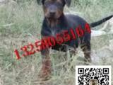 出售大骨架莱州红犬小狗图片视频 小莱州红犬好喂养吗