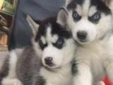 萌萌哒 纯种家养哈士奇宝宝 公母都有 自家狗狗繁殖