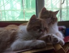出售两只加菲猫一公一母(一起卖)