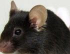 如何消灭老鼠 如何消灭蟑螂 沧州清波帮你忙