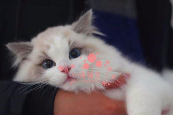 济南哪里卖布偶猫 布偶猫价格 布偶猫哪里有卖