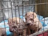2个月纯种沙皮犬小母出售