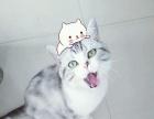 美国短毛猫,虎斑加白。