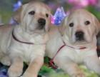 广东哪里有卖拉布拉多幼犬 汕头哪里有卖拉布拉多