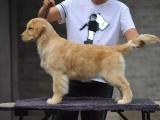 出售纯种金毛犬宝宝公母都有 可爱健康售后签协议 欢迎上门看狗