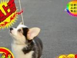 犬出售高品质(柯基幼犬)三色两色均有包纯种健康