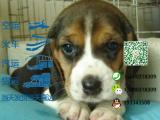 哪一家宠物店卖纯种健康的比格犬多少钱一只
