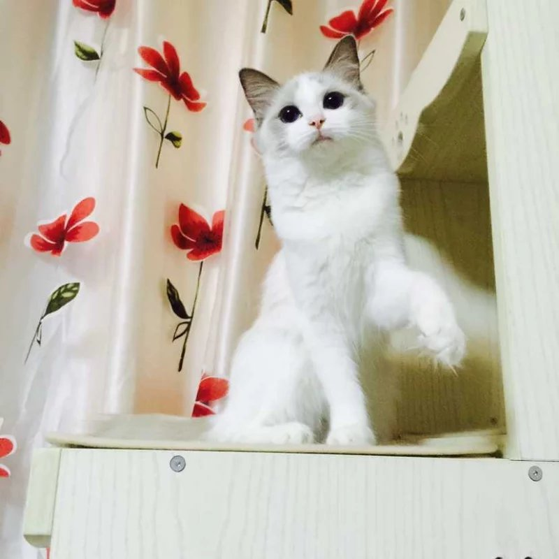 淄博本地布偶猫 CFA血统 纯种猫 活体 海豹双色