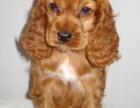 重庆哪里卖 可卡宠物狗价格便宜狗狗健康签协议包纯种