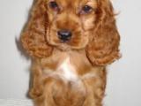 活泼可爱的可卡赛级品相纯种可卡幼犬,保健康包纯种