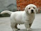 忠厚老实的小拉布拉多导盲犬幼犬忠实沉着聪明