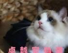 杭州猫舍出售布偶猫 双蓝眼 纯种健康 可送货上门