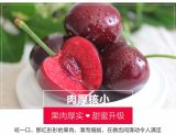 新鲜大樱桃 多个品种 企业种植 欢迎订购