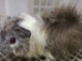 荷兰猪兔子仓鼠刺猬松鼠,15至179元一个,欢迎单独沟通