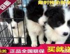 纯种边境 幼犬三个月 包纯种 品相论价