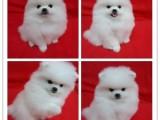 惠州惠城出售宠物狗,精品博美幼犬狗狗出售,包纯种,包健康