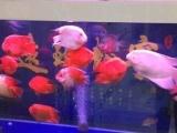 观赏鱼 精品财神鹦鹉鱼200元