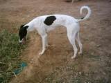 太原出售8个月大的比特犬