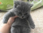 寻找爱猫主人,自家养育纯蓝英短地毯毛