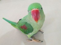 出售人工繁殖亚历山大鹦鹉 和尚鹦鹉 金太阳鹦鹉 小太阳鹦鹉